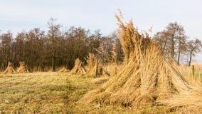 Paisagem com os pacotes de junco no pantanal Fotos de Stock Royalty Free