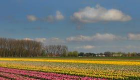 Paisagem com tulipas e as nuvens de florescência Fotografia de Stock Royalty Free
