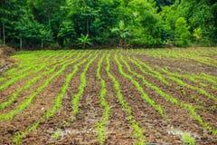 Paisagem com um campo do milho novo Fotografia de Stock Royalty Free