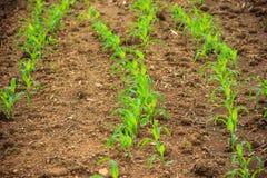 Paisagem com um campo do milho novo Fotografia de Stock