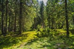 Paisagem com uma floresta velha do pinho Fotos de Stock
