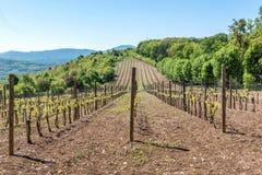 Paisagem com vinhedos verdes Imagem de Stock