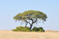 Paisagem da árvore de Camelthorn Imagens de Stock Royalty Free