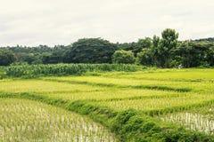 Paisagem da exploração agrícola da almofada do campo do arroz Fotos de Stock Royalty Free