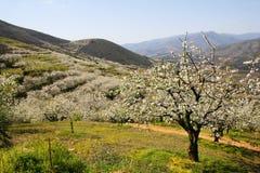 Paisagem da flor de cerejeira entre montanhas Imagens de Stock Royalty Free