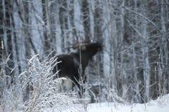 Paisagem da floresta do inverno em um fundo dos alces Imagens de Stock