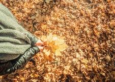 Paisagem da floresta do outono, um ramalhete da terra arrendada da menina das folhas em suas mãos imagem de stock royalty free