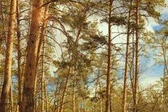Paisagem da floresta do pinho, opinião da janela O sol através das coroas da árvore Natureza bonita imagens de stock royalty free