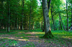 Paisagem da floresta no verão Fotografia de Stock