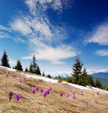 Açafrões que florescem nas montanhas Foto de Stock