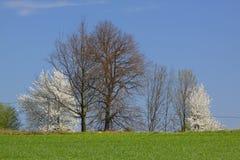 Paisagem da mola com as árvores de florescência brancas e o céu azul Fotografia de Stock Royalty Free