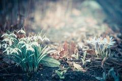 A paisagem da mola com snowdrops e açafrões floresce, exterior Fotografia de Stock Royalty Free