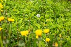 Paisagem da mola com uma grama nova Flor do dente-de-leão O foco está no dente-de-leão branco Dentes-de-leão do ar em um campo ve Fotos de Stock