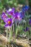 Paisagem da mola Crescimento de flores no selvagem Pul da flor da mola Imagem de Stock Royalty Free