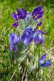 Paisagem da mola Crescimento de flores no selvagem Pul da flor da mola Foto de Stock