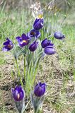 Paisagem da mola Crescimento de flores no selvagem Pul da flor da mola Imagem de Stock