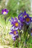 Paisagem da mola Crescimento de flores no selvagem Pul da flor da mola Fotografia de Stock Royalty Free