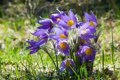 Paisagem da mola Crescimento de flores no selvagem Pul da flor da mola Imagens de Stock Royalty Free