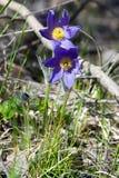 Paisagem da mola Crescimento de flores no selvagem Pul da flor da mola Fotografia de Stock
