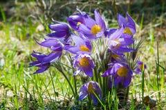 Paisagem da mola Crescimento de flores no selvagem Pul da flor da mola Fotos de Stock Royalty Free