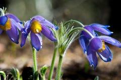 Paisagem da mola Crescimento de flores no selvagem Pul da flor da mola Imagens de Stock