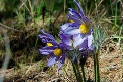 Paisagem da mola Crescimento de flores no selvagem Pul da flor da mola Foto de Stock Royalty Free