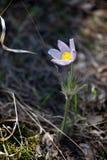 Paisagem da mola Crescimento de flores no selvagem Pul da flor da mola Fotos de Stock