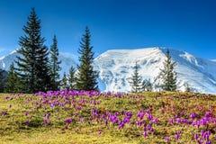 Paisagem da mola e flores roxas do açafrão, montanhas de Fagaras, Carpathians, Romênia Imagem de Stock Royalty Free