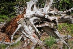 Paisagem da mola - Forest Hiking preto no trajeto de Lothar na Floresta Negra, Alemanha fotos de stock royalty free