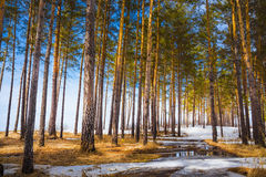 Paisagem da mola sibéria Imagens de Stock Royalty Free