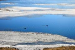Paisagem da mola Um par de patos migrat?rios selvagens parou para descansar na ?gua Os patos selvagens migrat?rios nadam entre as imagens de stock
