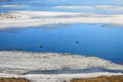 Paisagem da mola Um par de patos migrat?rios selvagens parou para descansar na ?gua Os patos selvagens migrat?rios nadam entre as imagem de stock royalty free