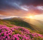 Paisagem da montanha com as flores cor-de-rosa no por do sol Imagens de Stock