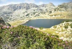 Paisagem da montanha com as flores do kotschyi do rododendro Imagem de Stock