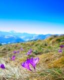 Paisagem da montanha da mola com os açafrões violetas que florescem no m Imagens de Stock