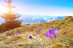 Paisagem da montanha da mola com os açafrões violetas que florescem no m Foto de Stock