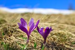Paisagem da montanha da mola com os açafrões violetas que florescem no m Foto de Stock Royalty Free