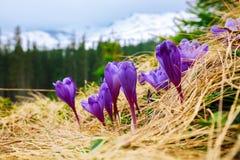 Paisagem da montanha da mola com os açafrões violetas que florescem no m Fotografia de Stock Royalty Free