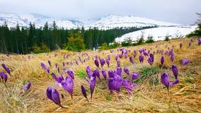 Paisagem da montanha da mola com os açafrões violetas que florescem no m Imagens de Stock Royalty Free