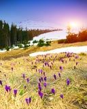 Paisagem da montanha da mola com os açafrões violetas que florescem no m Fotos de Stock