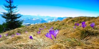 Paisagem da montanha da mola com os açafrões violetas que florescem no m Fotografia de Stock