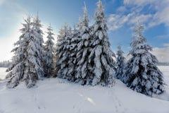 Paisagem da neve do inverno, pinheiros, brejos altos, Bélgica Foto de Stock