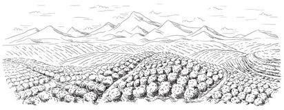 Paisagem da plantação de café