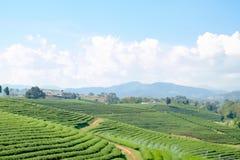 Paisagem da plantação de chá Imagem de Stock