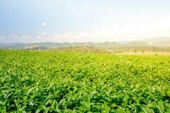 Paisagem da plantação de chá Fotografia de Stock