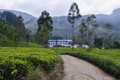 Paisagem da plantação de chá Fotos de Stock