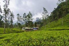 Paisagem da plantação de chá Imagem de Stock Royalty Free