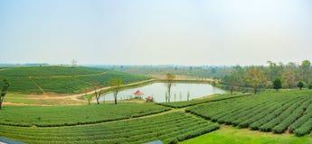 Paisagem da plantação de chá no chá de Choui Fong, Chiang Rai Thailand Fotos de Stock
