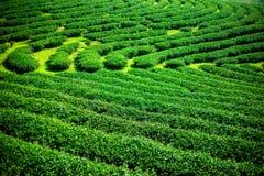 Paisagem da plantação de chá verde, textura do fundo das folhas Foto de Stock Royalty Free