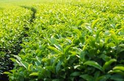 Paisagem da plantação de chá verde, textura do fundo das folhas Imagens de Stock Royalty Free